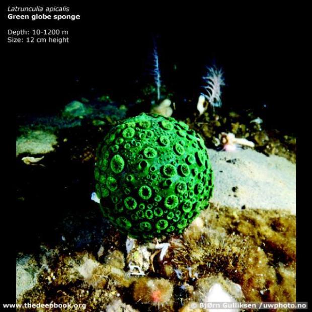 esponja globo verde