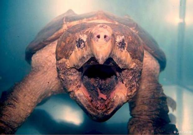 tortuga caimán